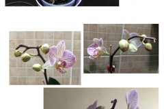 dying_orchids_to_blooms